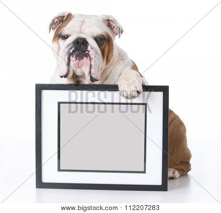 bulldog holding picture frame with room for copyspace on white background