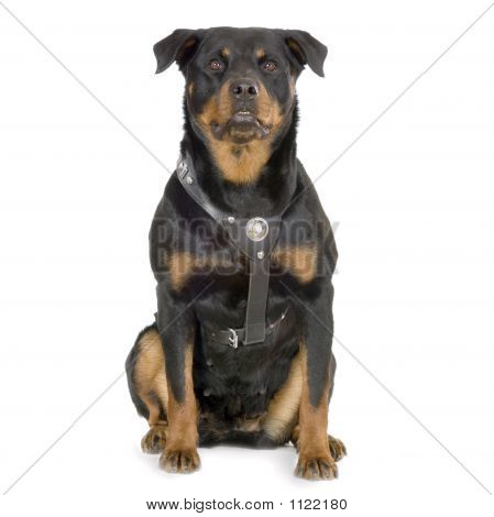 rottweiler sitting in front of white background poster