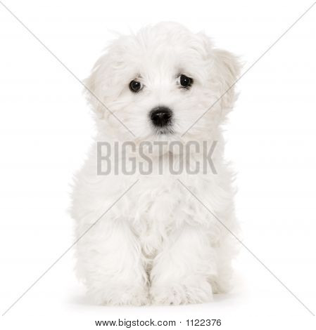 Puppy Maltese Dog