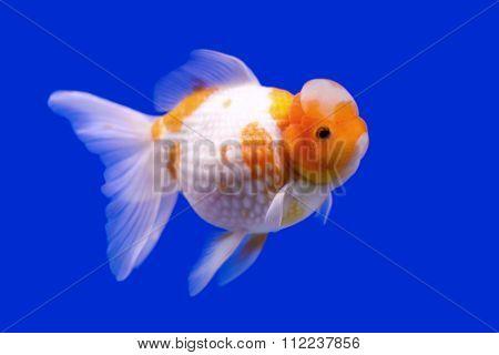 Beautiful Ranchu Or Lion Head Goldfish