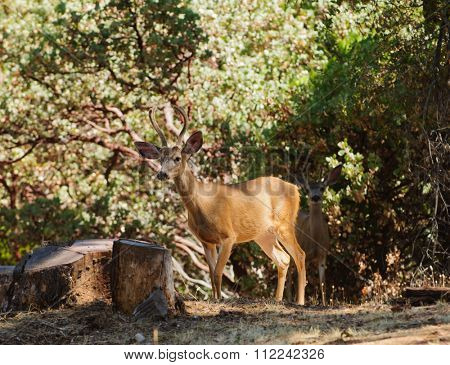 pair of young Black-tailed bucks sneaking out of the forest