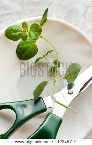 Oregano / Origanum Vulgare With Scissors