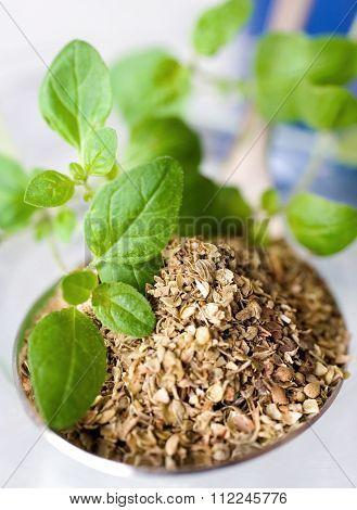 Fresh And Dried Oregano / Origanum Vulgare