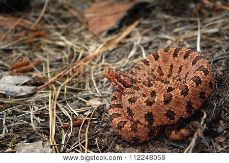 Carolina Pigmy Rattlesnake