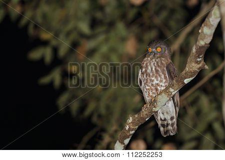 Boobook Or Barking Owl Species
