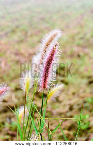 Dew On Poaceae Grass In Thailand