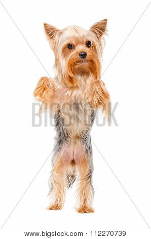 Portrait of Yorkshire terrier standing on his hind legs