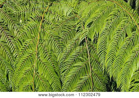 Sunlit Tree Fern Leaves Nature Background