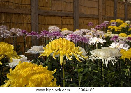 Assortment of large,colorful Japanese chrysanthemums on display