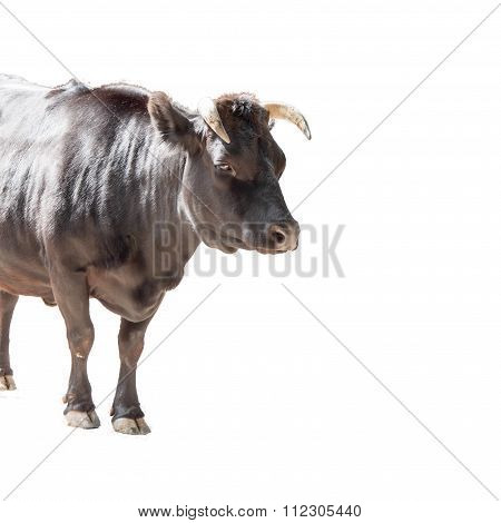 Dahomey Dwarf Cattle