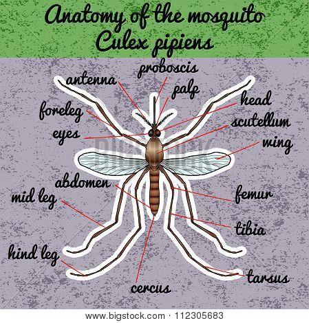 Insect anatomy. Sticker realistic mosquito. Culex pipiens Mosquito silhouette. mosquito Design for c
