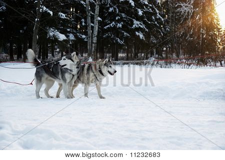 Dogs (husky)  In A Team On A Background Sunset