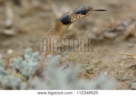 Collared dwarf snake (Eirenis collaris) with neck raised and tongue out