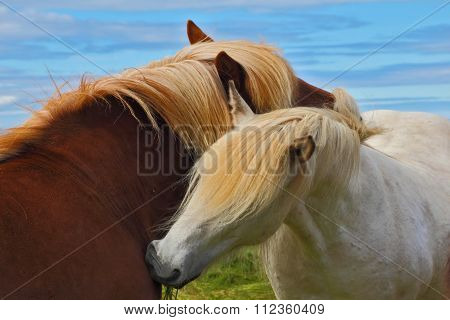 Tender meeting. Two Icelandic horses with white manes on free ranging