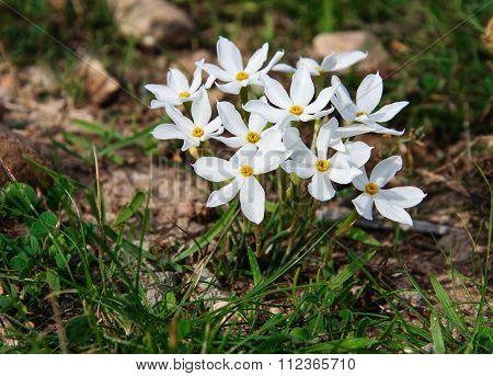 Beautiful White daffodils.