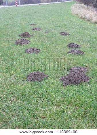 Mole Hills In Grass