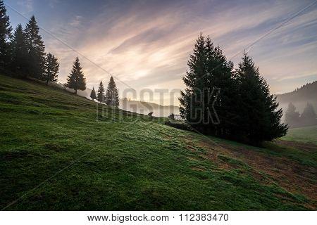 Fir Trees On  Hillside Meadow In Fog Before Sunrise