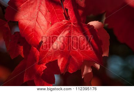 Autumn red maple leaf.