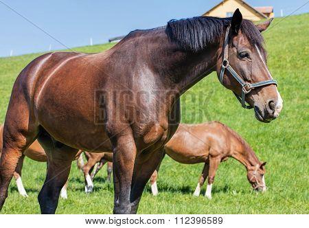 Swiss Warmblut Stallion
