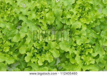 Sprout Green Oak Lettuce Hydroponic , On Pond Foam