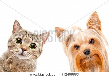 Portrait of a cat Scottish Straight and Yorkshire terrier