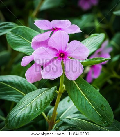 Pink Flower In Garden, West Indian Periwinkle