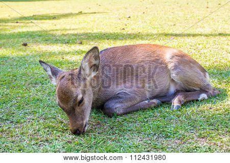 Baby Sika Deer Resting