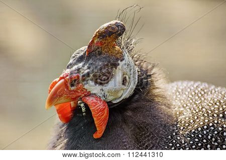 Portrait Of Guineafowl