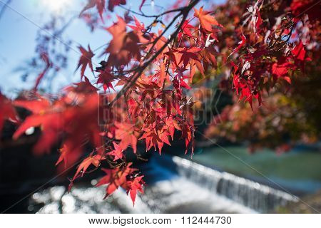 Colorful Leaves On Maple Tree