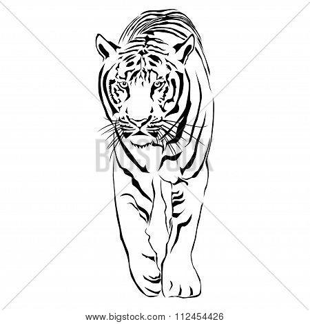 Tiger walking stride. Victor
