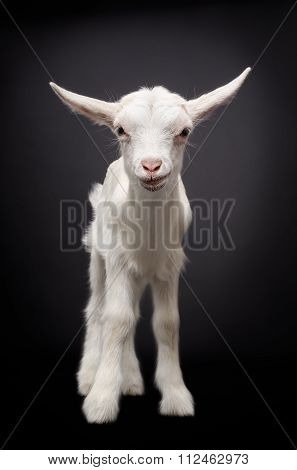Portrait of a cute young white goat