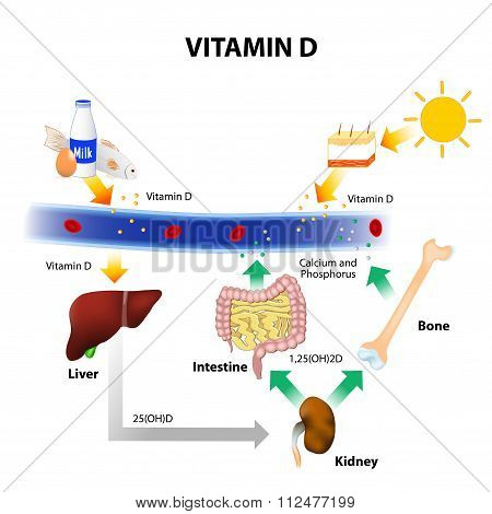 Schematic Diagram Of Vitamin D Metabolism
