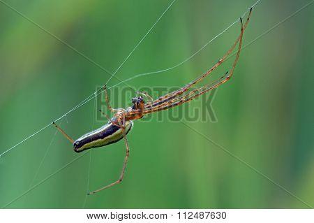 Long Jawed Spider (Tetragnatha Extensa) building a web in long grass poster
