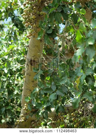 Sycamore, that is a tall tree in Jericho, in Palestine, in the place where according to the Bible Zacchaeus met Jesus