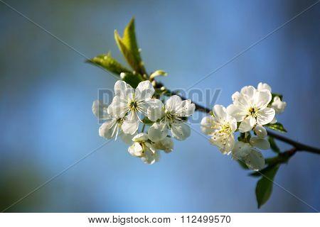 Gean Flowers Bathing In The Sun