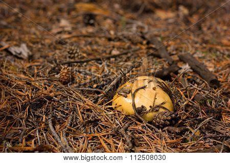 slippery jack mushroom
