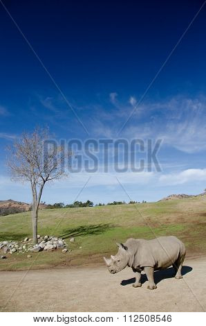 Dry Tree And Alone White Rhino Under Blue Skies In A Safari Park