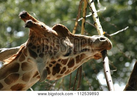 Close up of a reticulated giraffe eating