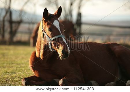 Horse rests in a pasture
