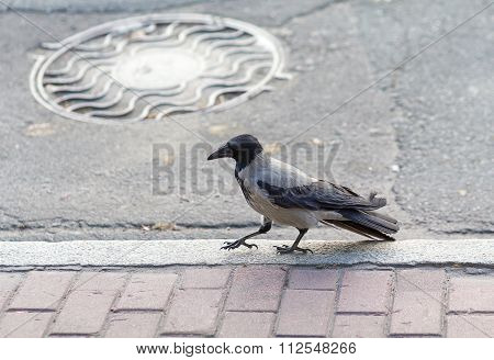 Raven Walks On City Sidewalks. Birds