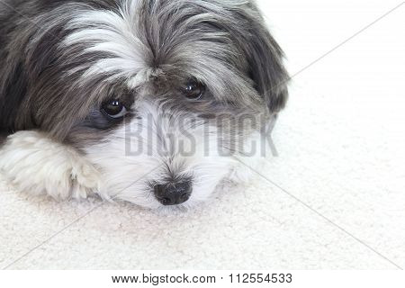 A small black and white dog is sad.