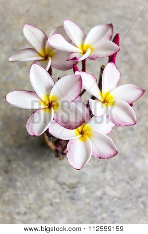 Top View Of Lovely Flower Plumeria Bunch