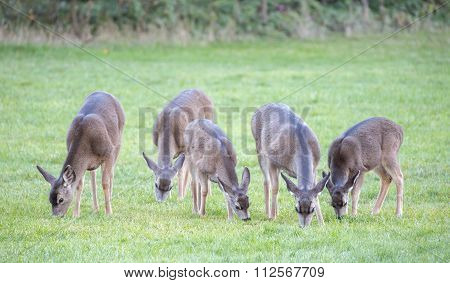 Black-tailed Deer, Odocoileus hemionus, Females