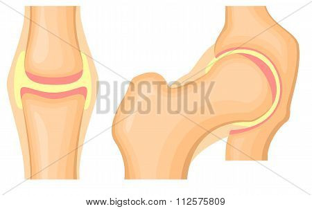Hip Joint Structure