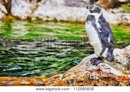 Jackass Penguin In Its Natural Habitat In Nature.