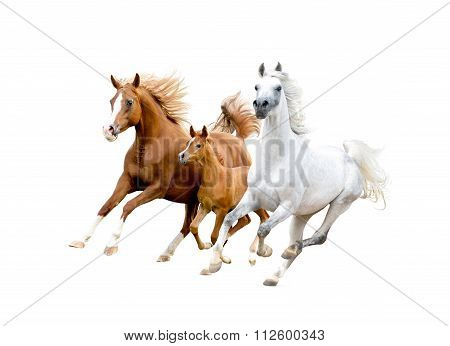 Three Arabian Horses Isolated On White