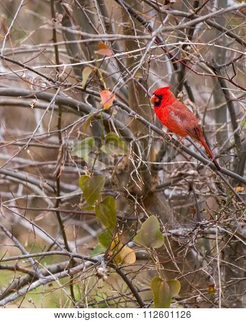 Male Cardinal Perched On A Barren Winter Tree
