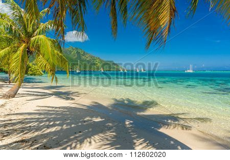 Coconut trees in a beach in Moorea