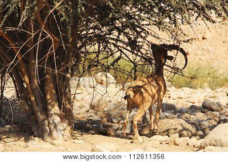 Nubian ibex in Ein Gedi (Nahal Arugot) at the Dead Sea, Israel