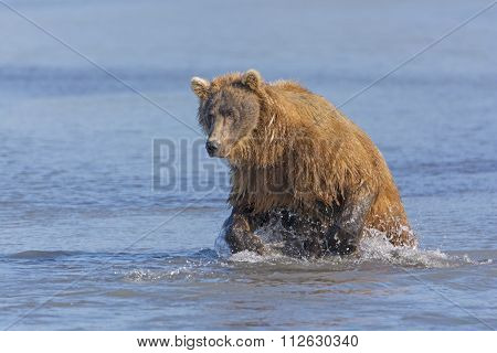 Grizzly Bear About To Pounce On A Fish
